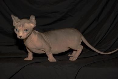 Порода кішок Двельф