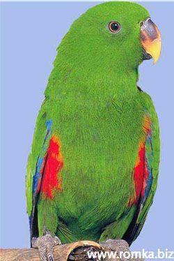 Двоколірні або благородні попугаірод eclectus (lorius)