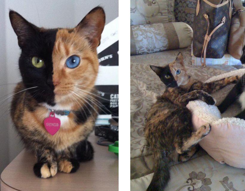 дволика кішка