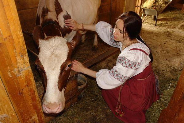 Дівчина біля корови
