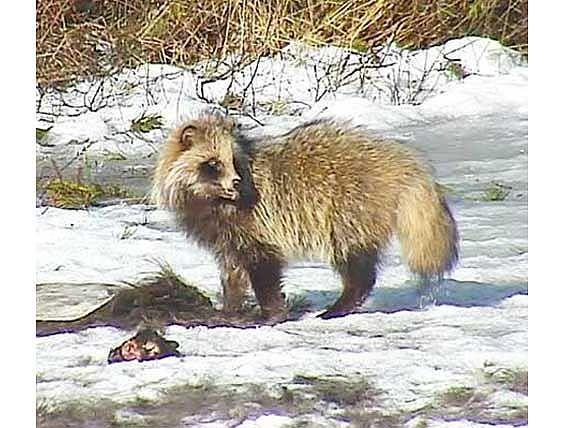 Єнотовидний собака після зими