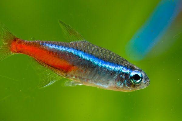 Неони - акваріумні рибки