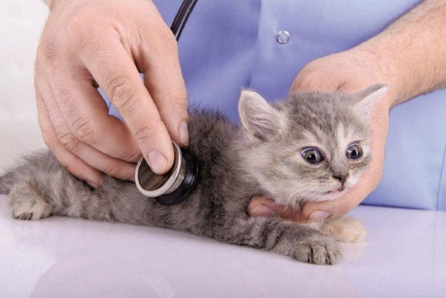 кошеня у ветеринара