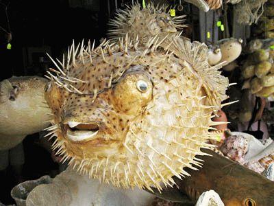 Їжак-риба