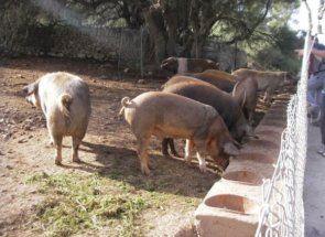 Фермерам на замітку - все найцінніше про харчування свиней