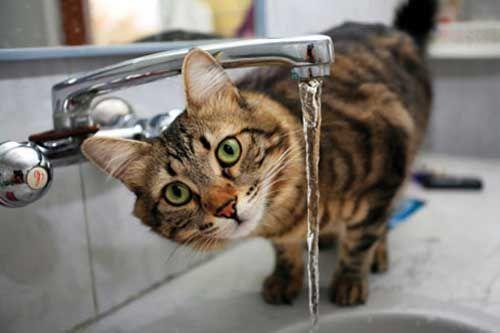 Кішка п`є воду з-під крана