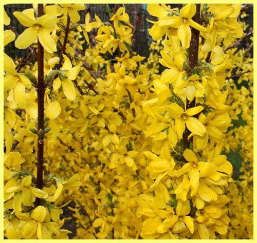 Форзиція вирощування і догляд: фото