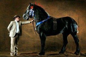 Французькі красені - першеронской коні