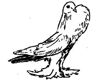 Фото 1 Галицькі сріблясті (голуби)