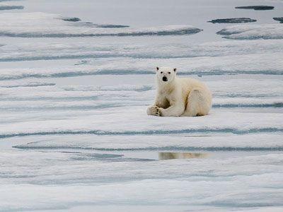 Де полює білий ведмідь