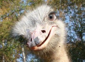 Де в барнаулі побачити страусів?