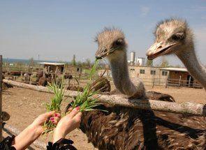 Де в криму сходити в гості до страусів?