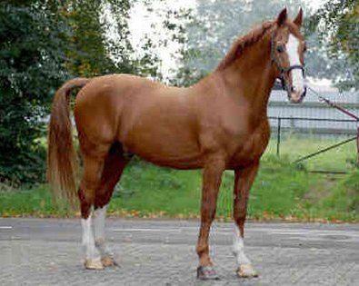 Гельдерлендская кінь