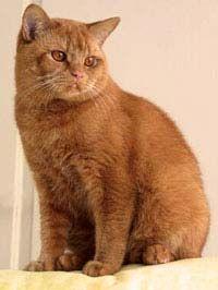 Британський кіт червоного забарвлення