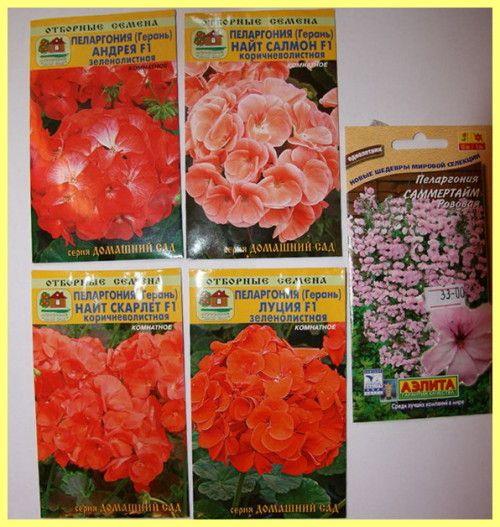Герань вирощування з насіння в домашніх умовах