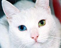 Гетерохромія очей кішки. фото