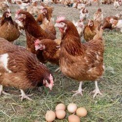 Кури Хай Лайн біля яєць