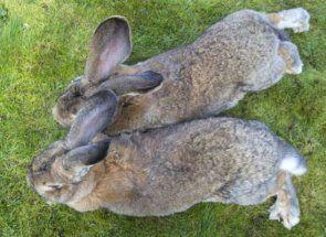Гіганти і карлики в світі кролів