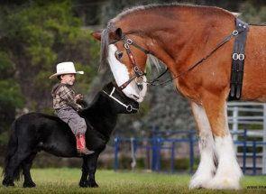 Гіганти кінного світу: хто вони найбільші коні?