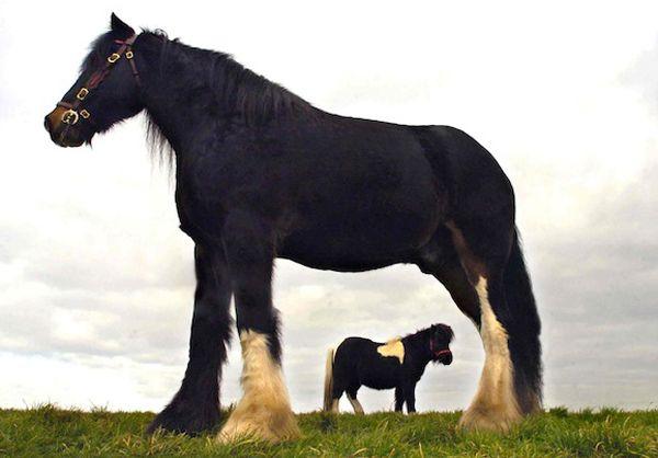 Кінь породи шайр на прізвисько Крекер