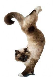 Гімнастика для кішок