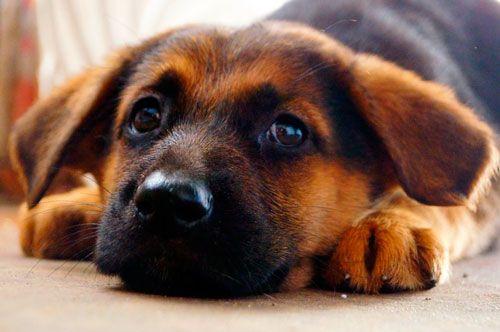 синдром Кушинга у собаки