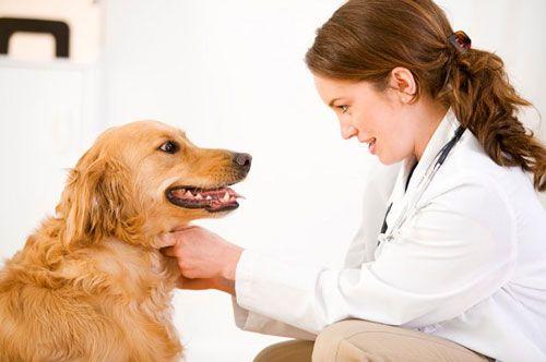 діагностика синдрому Кушинга у собаки