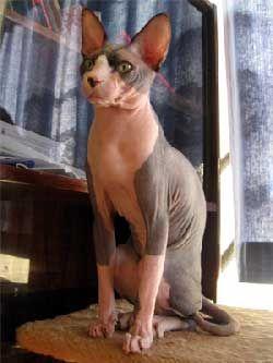 Гіпоалергенні породи кішок - чи існують вони?