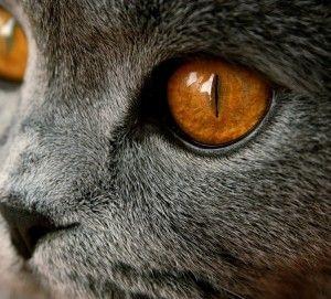 очі кішки