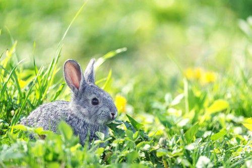 Глисти у кроликів