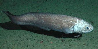 Глибоководні риби