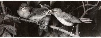 Фото 2 гніздування і турбота про потомство у птахів