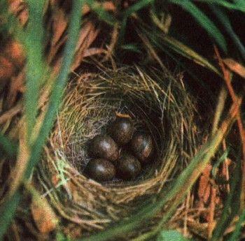 Фото 4 гніздування і турбота про потомство у птахів