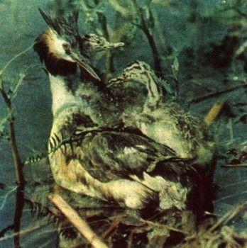 Фото 6 гніздування і турбота про потомство у птахів