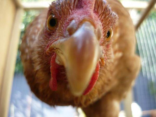 Голландський яєчний крос - кури шейвер