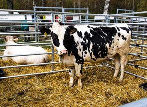 Голштинська порода - багато смачного молока від голландської корови