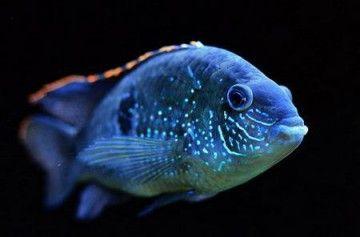 Блакитна акара - прикраса акваріума