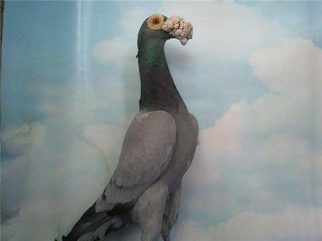 Поштовий голуб породи Кар`єр