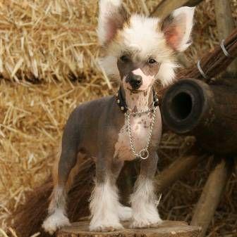 Голі собаки: породи, особливості догляду. Харчування і моціон лисих собак
