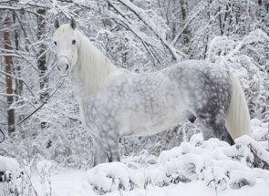 Гордість російського конярства - орловський рисак