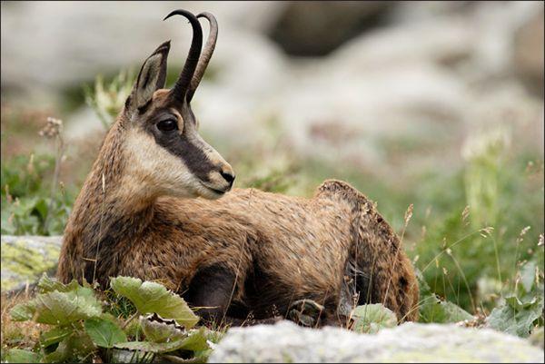 Гірські красуні - дикі кози