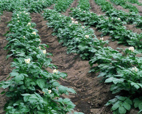 Добриво картоплі перепелиним послідом