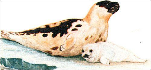 Гренландський тюлень (pagophilus groenlandicus)