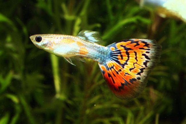 Гуппі - акваріумні рибки
