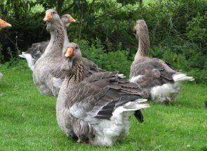 Гусеводство як прибуткова справа: рекомендації досвідчених птахівників