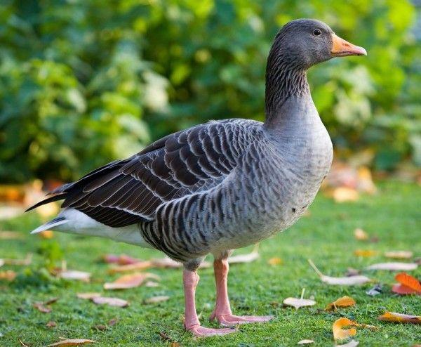 Сірий гусак на траві