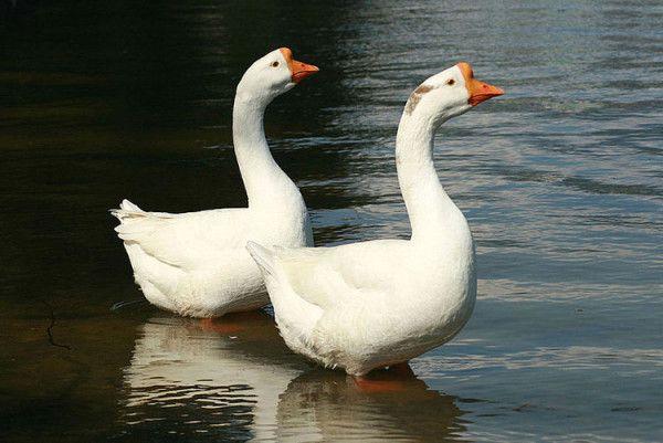Два гуся пливуть