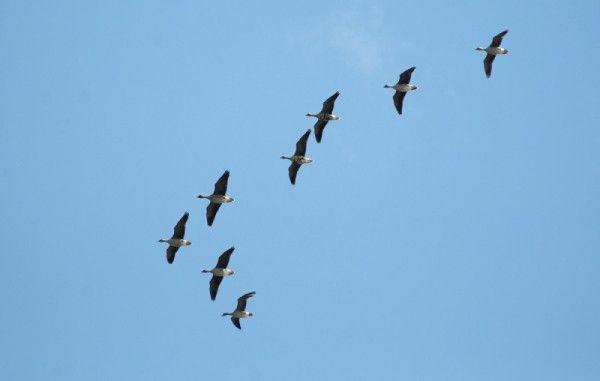 Гуси летять клином