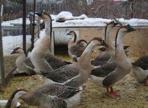 Гуси кубанці - невибагливі мешканці пташника