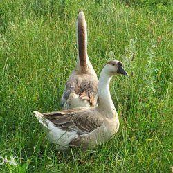Два Кубанських гусака на природі